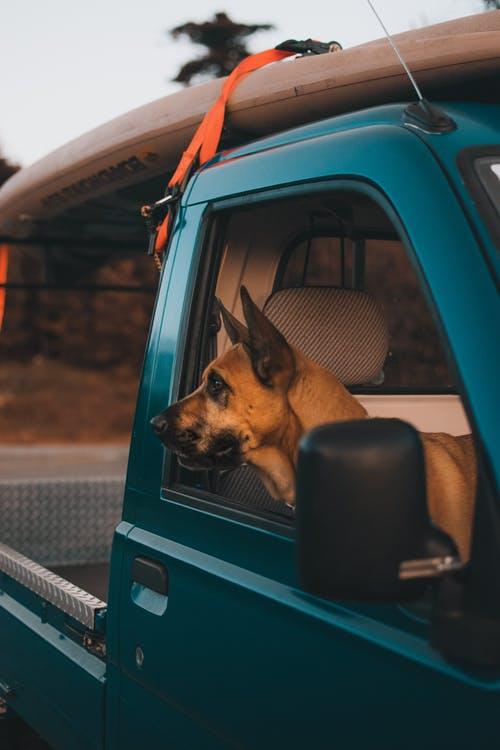 German Shepherd in a Blue Truck